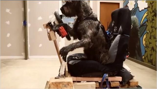 犬が自動車運転のトレーニング